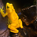 Yellow Tropical Frog by Douglas Barnett