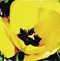 Yellow Tulip 2 by Sarah Loft