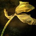 Yellow Tulip by Bernard Jaubert