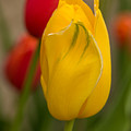 Yellow Tulip by Beverly Tabet