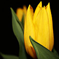 Yellow Tulip by Cathie Tyler