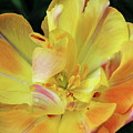 Yellow Tulip by Daniel Koglin