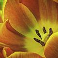 Yellow Tulip by Dave Thompsen
