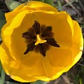 Yellow Tulip Head     Spring   Indiana by Rory Cubel