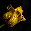 Yellow Tulip by Irena Kazatsker