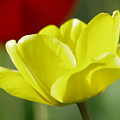 Yellow Tulip by Jeff Swan