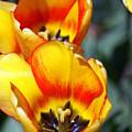 Yellow Tulip by Marty Koch
