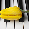 Yellow Tulip On Piano Keys by Garry Gay