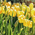 Yellow Tulip Panoramic by Tom Gari Gallery-Three-Photography