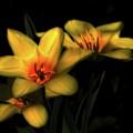 Yellow Tulip Trio by John Feiser