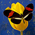 Yellow Tulip With Orange And Black Butterfly by Garry Gay