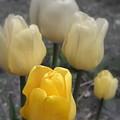 Yellow Tulips 2 by Kay Novy