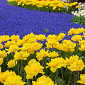 Yellow Tulips And Blue Muscari In Dutch Garden by Anastasy Yarmolovich