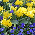 Yellow Tulips And Violets by Maria Urso