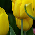 Yellow Tulips by Ann Keisling