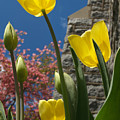 Yellow Tulips By Stone Church by Anna Lisa Yoder