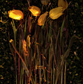 Yellow Tulips Decaying At Sunset by Jim Corwin