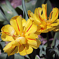 Yellow Tulips  by Douglas Milligan