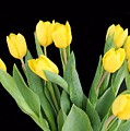 Yellow Tulips by FL collection