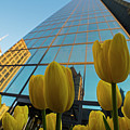 Yellow Tulips Looking Up At The Hancock Boston Ma by Toby McGuire