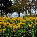 Yellow Tulips Of Fairhope Alabama by Michael Thomas