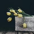 Yellow Tulips On Black by Kim Hojnacki