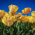 Yellow Tulips With An Orange Flare by Mia DeBolt