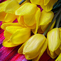 Yellow Tulips With Dew Drops by Garry Gay