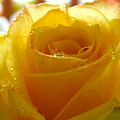 Yellow Valentine Roses - 4 by Arlane Crump