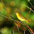 Yellow Warbler Galapagos Islands by Thomas R Fletcher