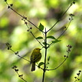 Yellow Warbler In A Tree 2 by Ben Upham III