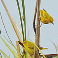 Yellow Warblers by Brian Fisher