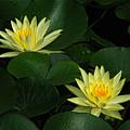 Yellow Water Lilies by Edward Sobuta