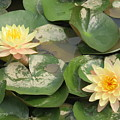 Yellow Water Lillies by Mikhael van Aken