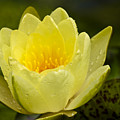 Yellow Water Lilly by Teresa Mucha