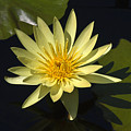 Yellow Water Lily by Sally Weigand