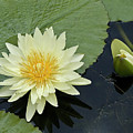 Yellow Water Lily With Bud Nymphaea by Heiko Koehrer-Wagner