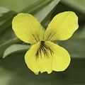 Yellow Wild Violet by Nikki Vig