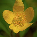 Yellow Wood Anemone 2 by Jouko Lehto