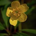 Yellow Wood Anemone 3 by Jouko Lehto