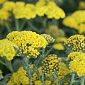 Yellow Yarrow by Susan Wright