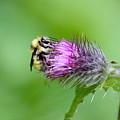 Yellowhead Bumblebee by Nicholas Miller