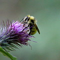Yellowhead Bumblebee Two by Nicholas Miller