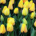 Yellows by David Millenheft