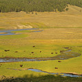 Yellowstone Bison 2 by Tracy Knauer