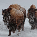 Yellowstone Bison by DBushue Photography