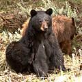 Yellowstone Black Bear And Junior Spring 2018 by Adam Jewell