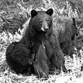 Yellowstone Black Bear And Junior Spring 2018 Black And White by Adam Jewell