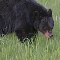 Yellowstone Black Bear Grazing by Dan Sproul