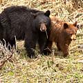 Yellowstone Black Bears In The Brush 2018 by Adam Jewell